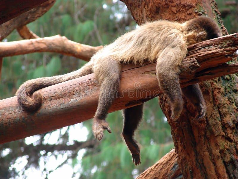 Scimmia pigra fotografia stock