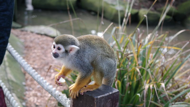 Scimmia pronta a piombare fotografia stock libera da diritti