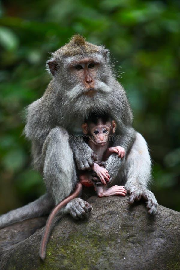 Scimmia proteggente del bambino della madre fotografia stock libera da diritti