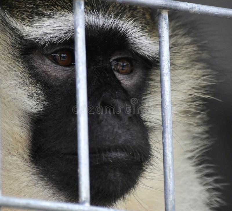 Scimmia riempita di tristezza fotografia stock libera da diritti