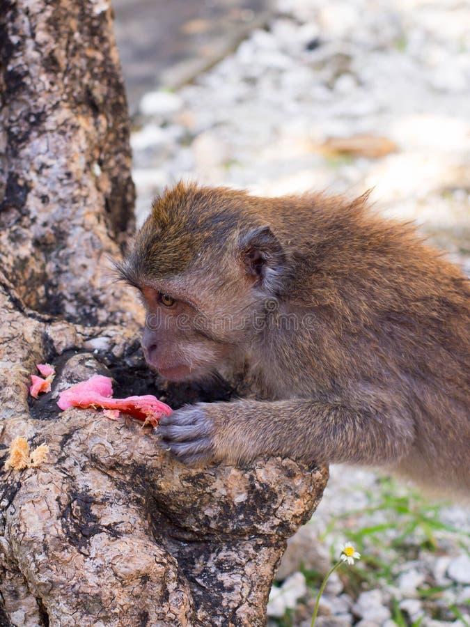 Scimmia in Sangeh, Bali, Indonesia fotografia stock