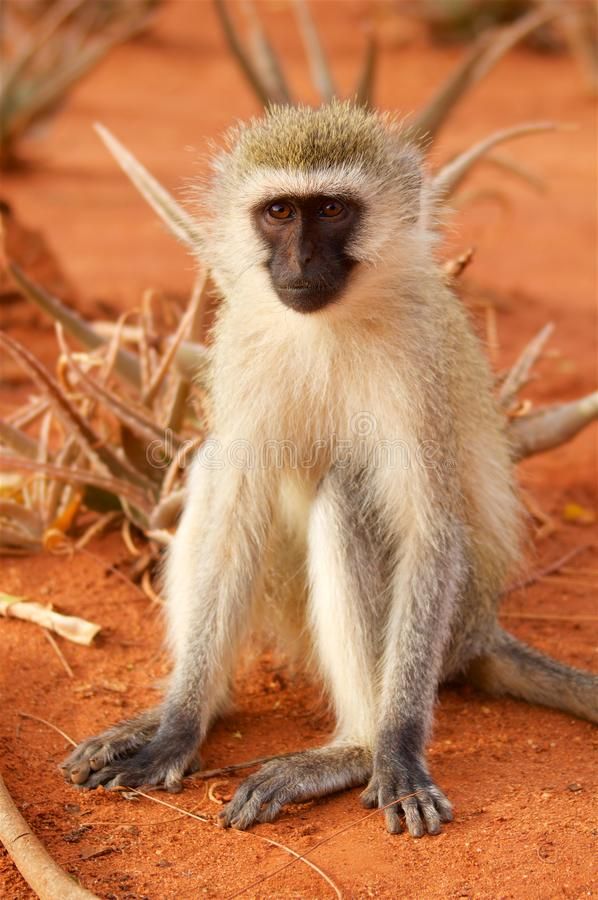 Scimmia in savanna in Africa fotografie stock