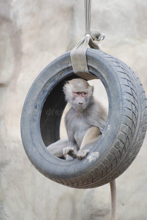 Scimmia, scimmia immagine stock