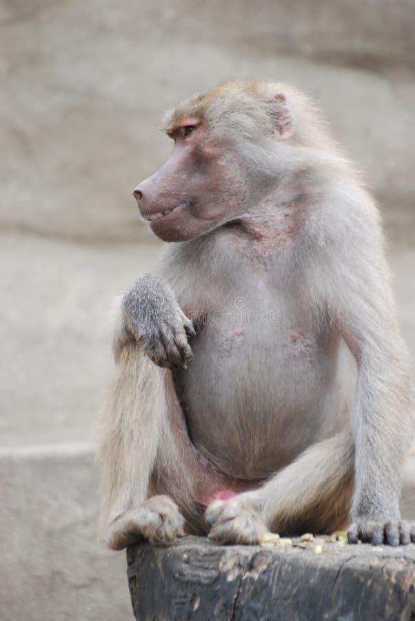 Scimmia, scimmia fotografia stock