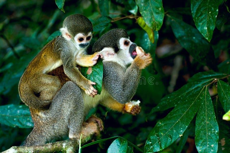 Scimmia scoiattolo fotografie stock libere da diritti