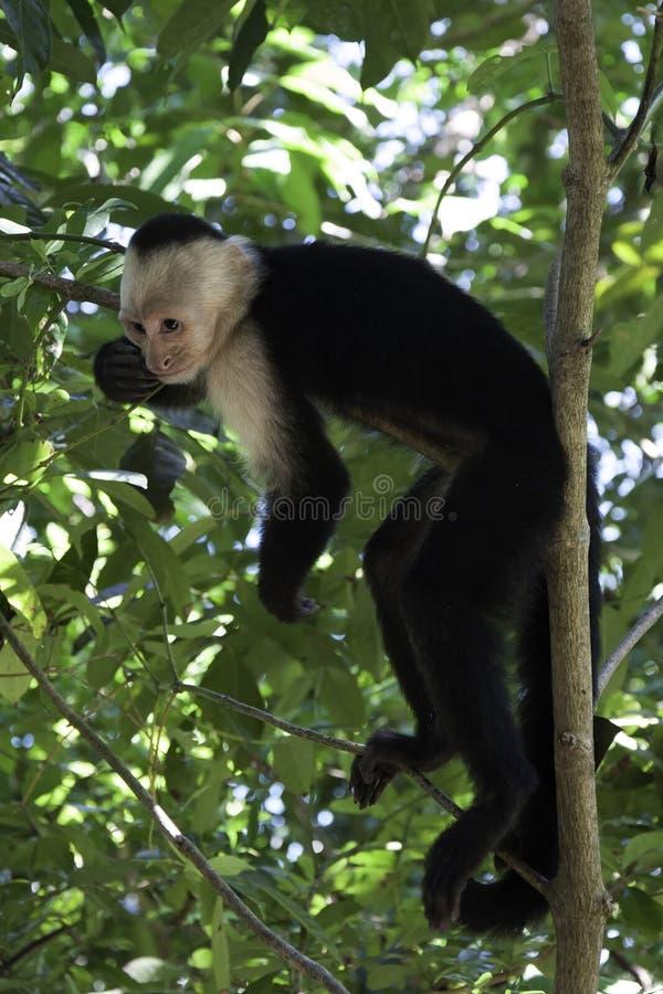 Scimmia scoiattolo che riposa in un albero immagine stock libera da diritti