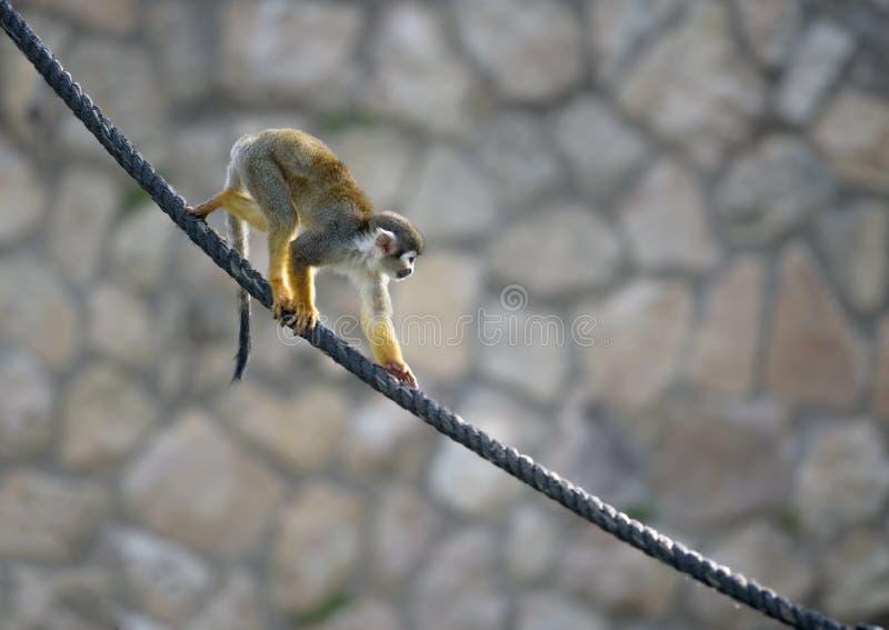 Scimmia scoiattolo che scende una corda immagini stock libere da diritti