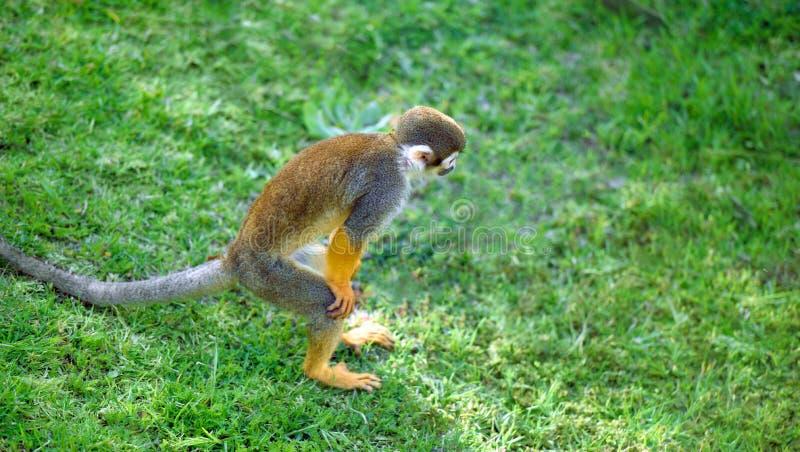Scimmia scoiattolo che sta in una posa divertente fotografie stock