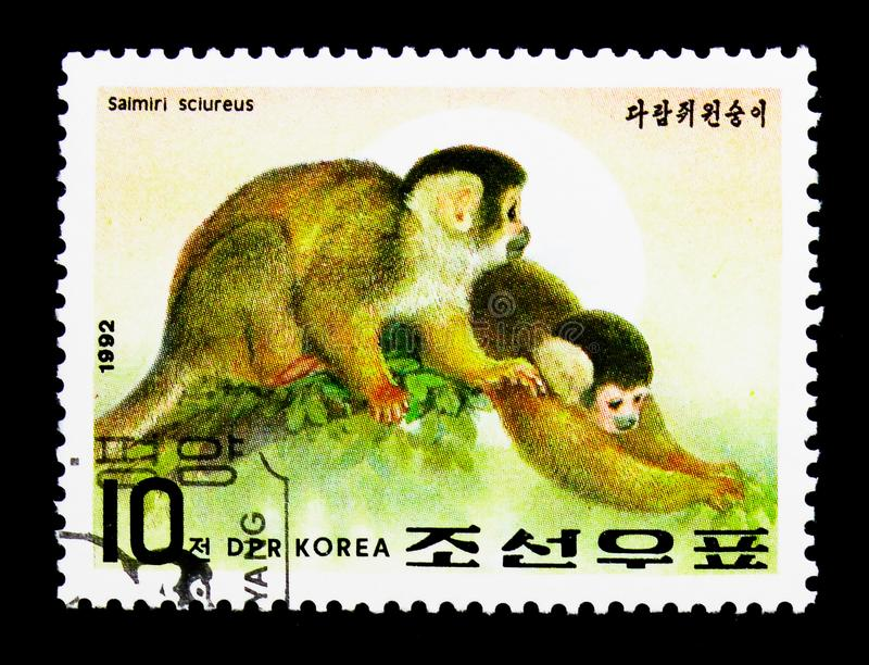 Scimmia scoiattolo comune (sciureus) del Saimiri, anno del Se della scimmia fotografie stock libere da diritti