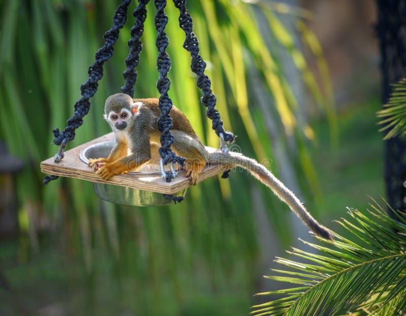 Scimmia scoiattolo su un alimentatore fotografia stock
