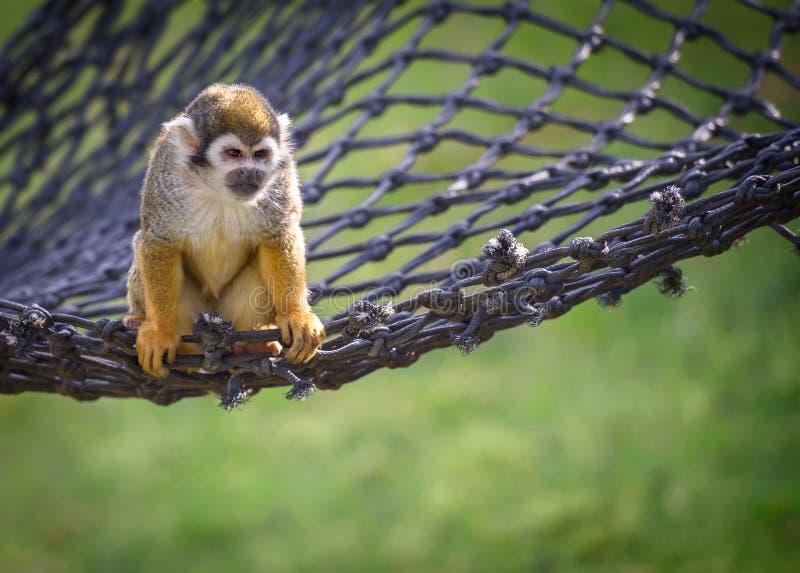 Scimmia scoiattolo su una rete immagine stock