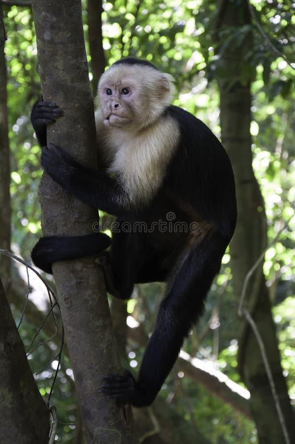 Scimmia scoiattolo in un albero fotografia stock libera da diritti