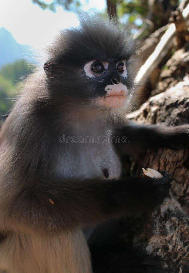 Scimmia selvaggia del primate del Langur fra le rocce alla sua prerogativa animale della riserva naturale aperta in Tailandia, As fotografia stock