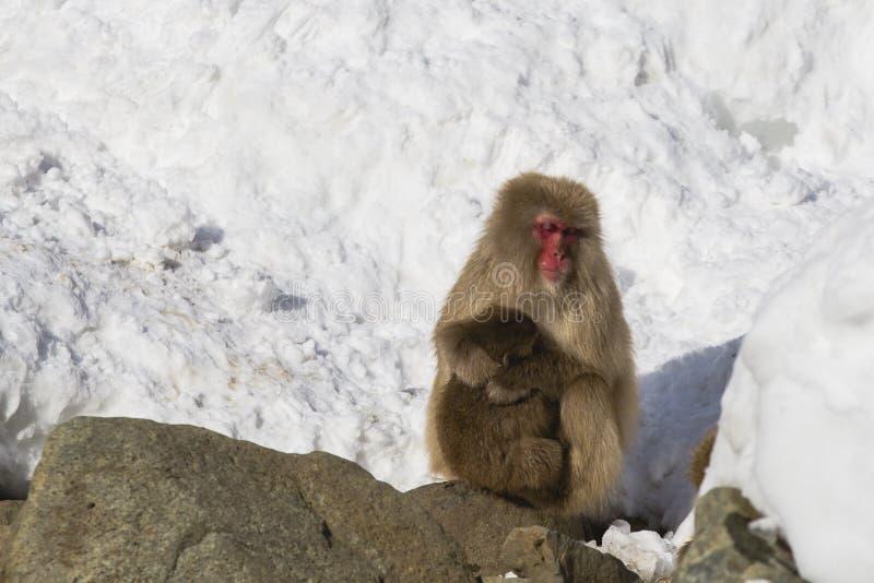 Scimmia selvaggia della neve che si appisola nella neve con il bambino fotografie stock libere da diritti