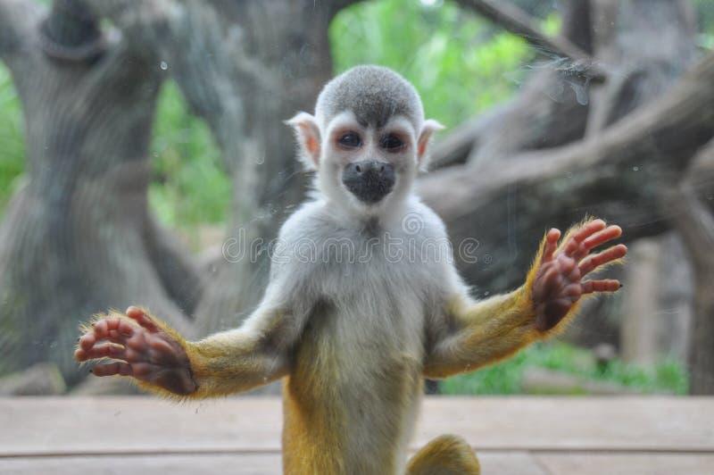 Scimmia sorridente allo zoo, Cali, Colombia fotografie stock