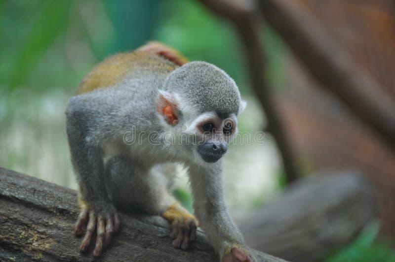 Scimmia sorridente allo zoo, Cali, Colombia fotografie stock libere da diritti