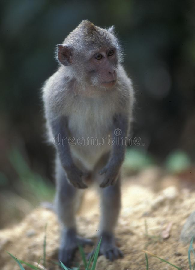 Scimmia stante di Pavian immagini stock