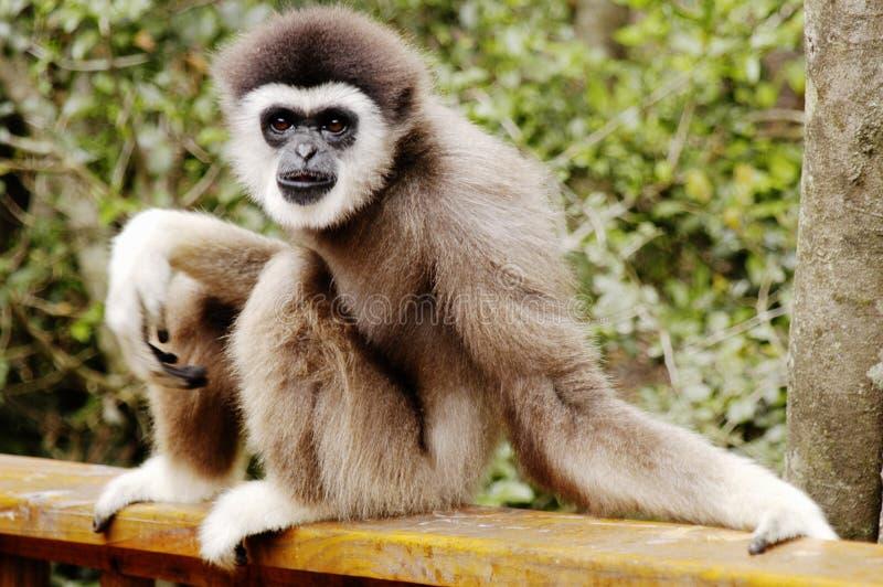 Scimmia su un'inferriata fotografie stock libere da diritti