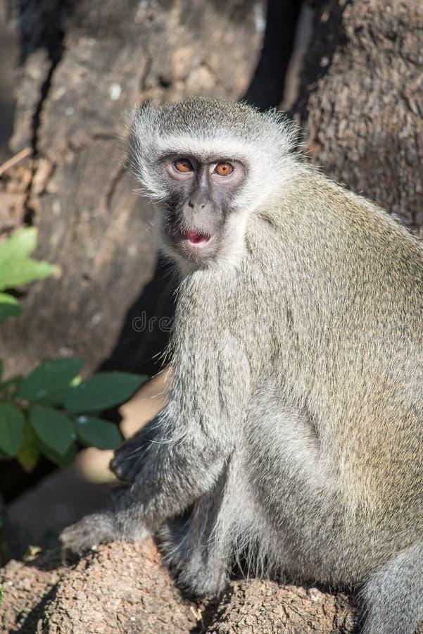 Scimmia su un ramo fotografia stock