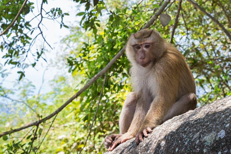 Scimmia su una pietra in Tailandia, Asia fotografie stock libere da diritti