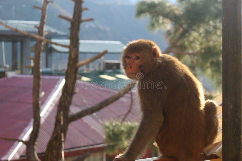 Scimmia sul terrazzo fotografia stock