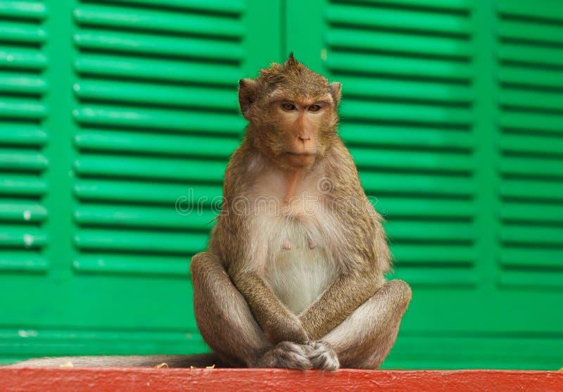 Scimmia sveglia fotografia stock