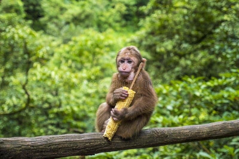 Scimmia sveglia del bambino con la pannocchia di granturco in monte Emei, provincia del Sichuan, Cina fotografie stock