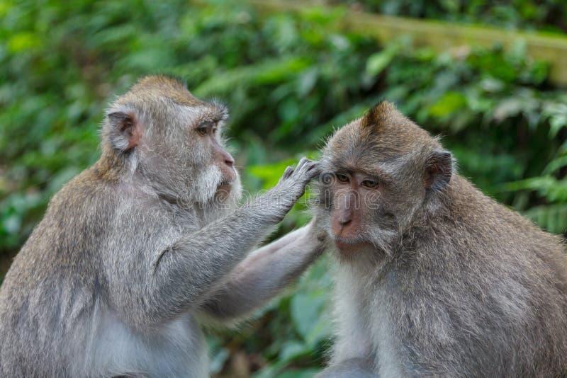 Scimmia sveglia in scimmia Forest Park sull'isola di Bali fotografia stock libera da diritti