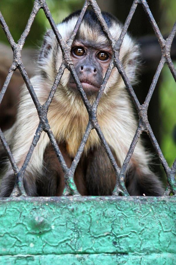 Scimmia triste in carta da parati della gabbia fotografia stock libera da diritti