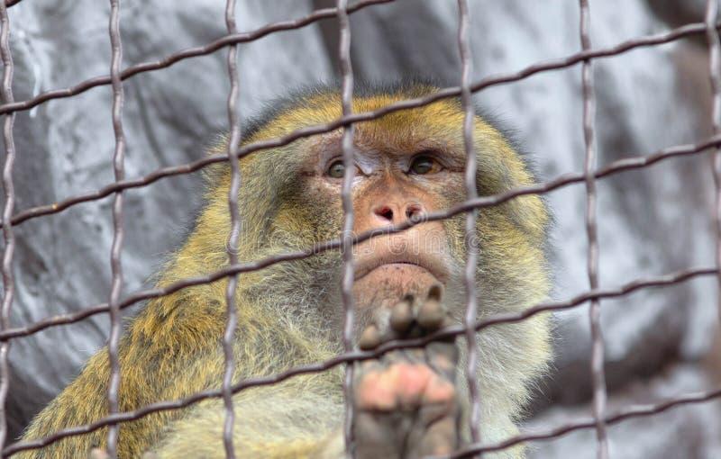 Scimmia triste in una gabbia fotografie stock libere da diritti