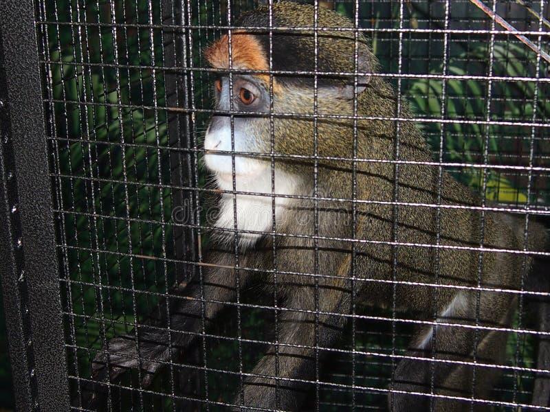 Scimmia in una gabbia immagine stock libera da diritti