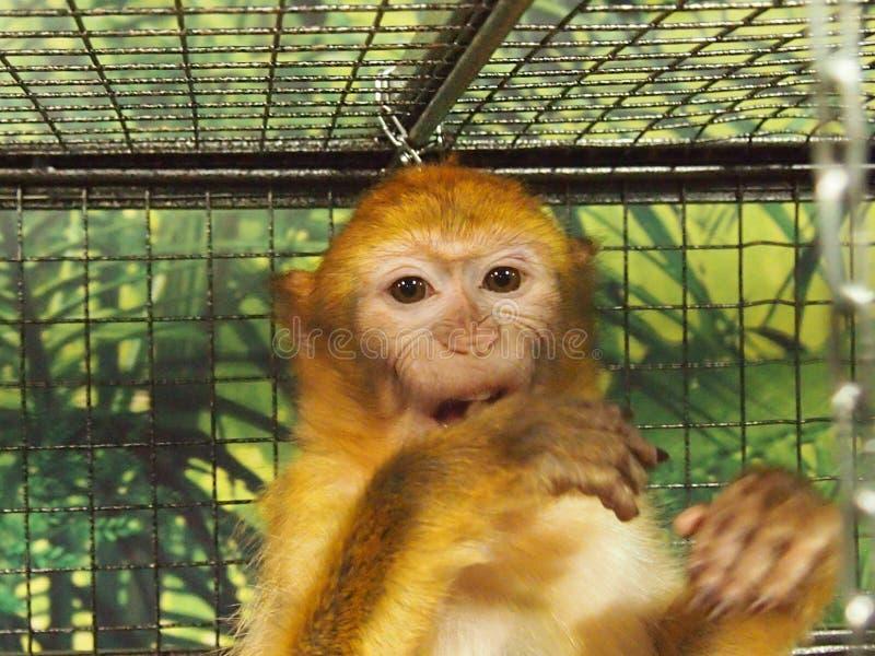 Scimmia in una gabbia fotografie stock
