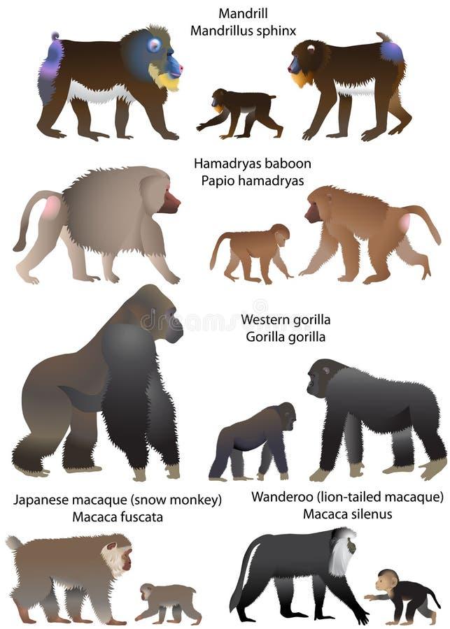 scimmie illustrazione di stock