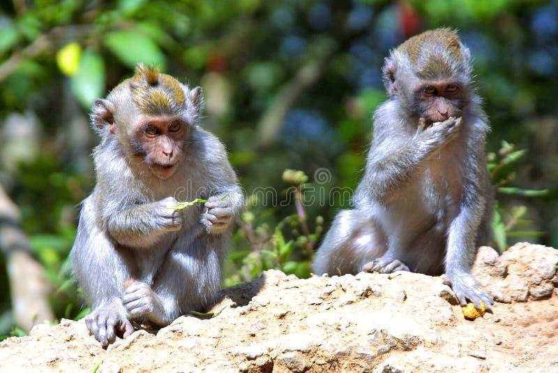 Scimmie immagini stock