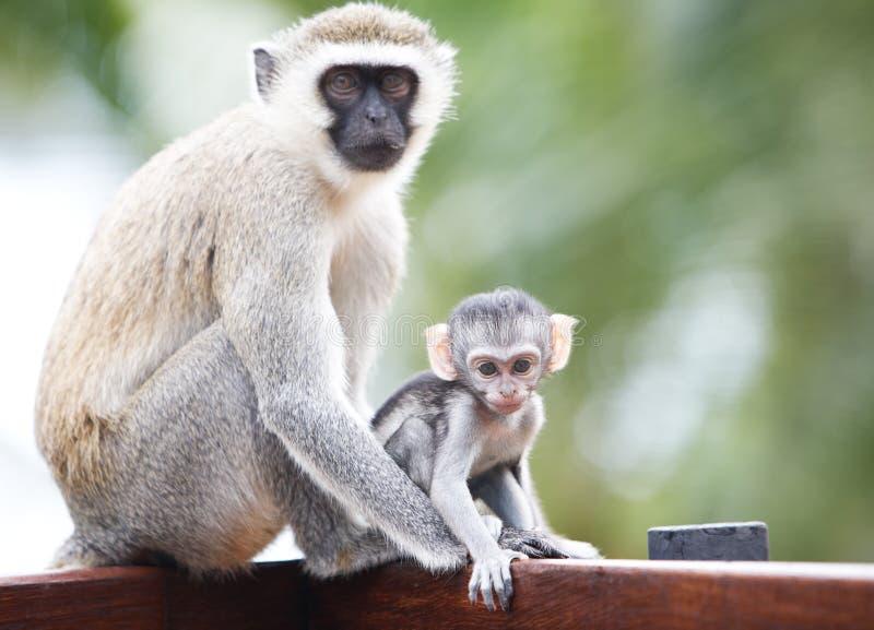 Scimmie in Africa immagine stock