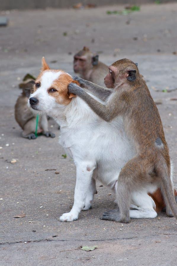 Scimmie che controllano per vedere se ci sono pulci immagini stock