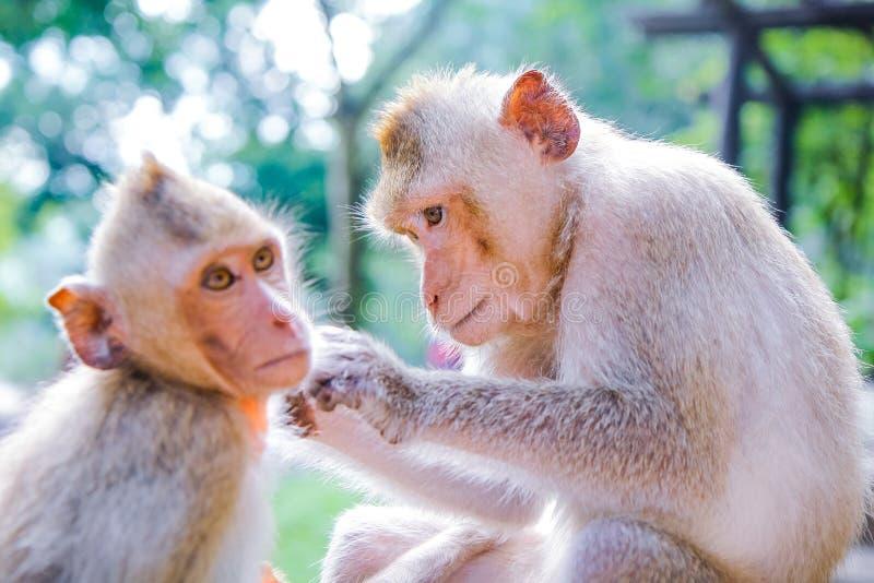 Scimmie che controllano per vedere se ci sono pulci immagine stock libera da diritti