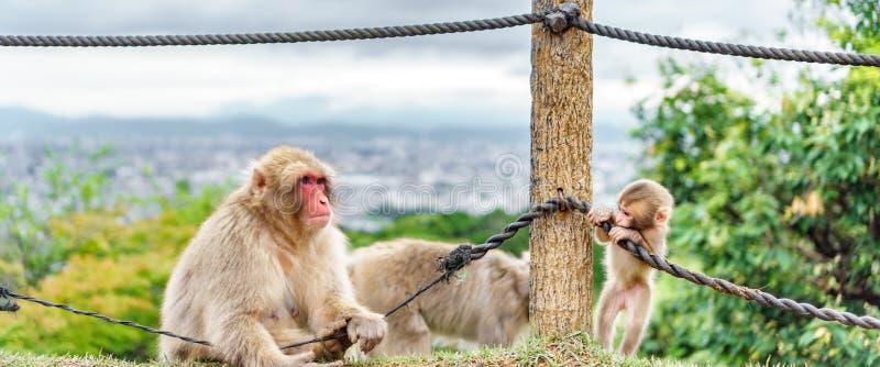 Scimmie che giocano in montagna di Arashiyama, Kyoto fotografia stock libera da diritti