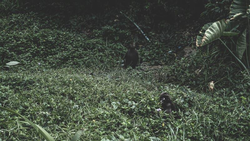 Scimmie che giocano sull'erba immagini stock