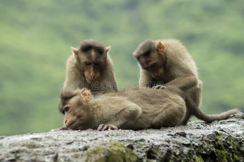 Scimmie che si siedono sulla parete del bordo della strada nel ghat di Varandha, Pune fotografia stock