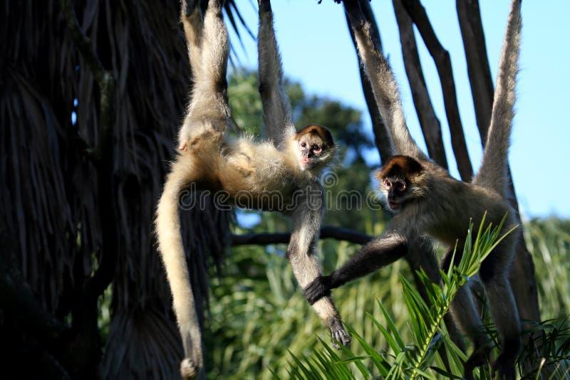 Scimmie che si tengono immagini stock