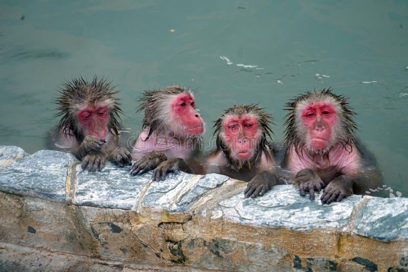 Scimmie della neve nella sorgente di acqua calda immagini stock libere da diritti