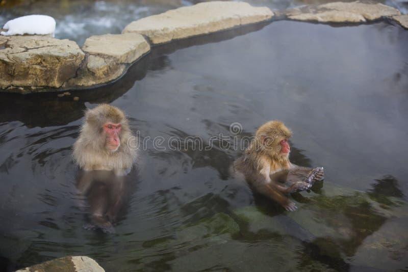Scimmie della neve in stagno minerale fotografia stock libera da diritti