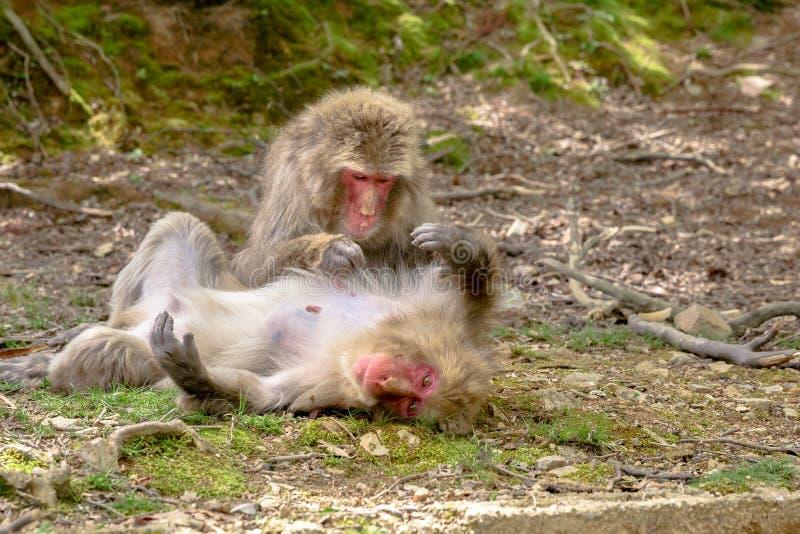 Scimmie di Arashiyama Kyoto fotografie stock libere da diritti