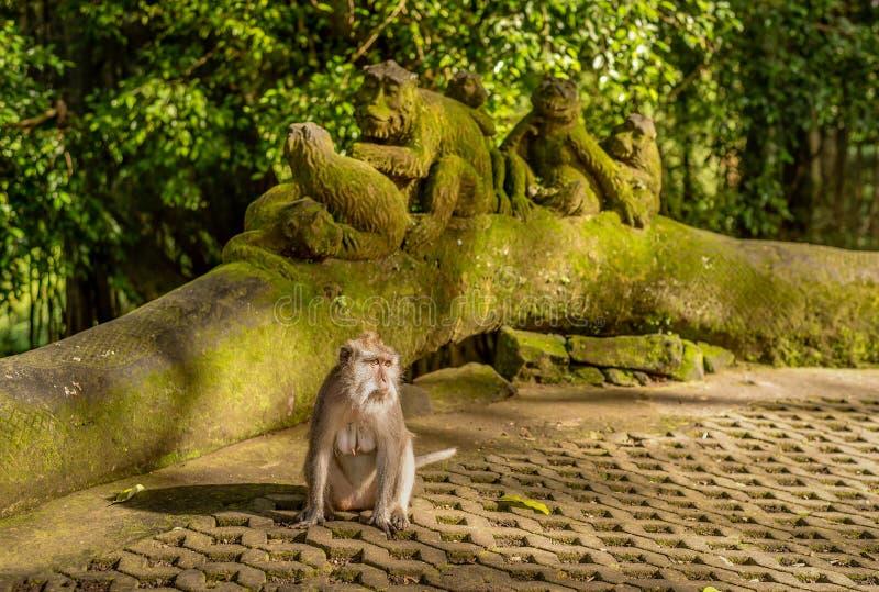 Scimmie di macaco alla scimmia sacra Forest Sanctuary di Ubud una natura fotografie stock