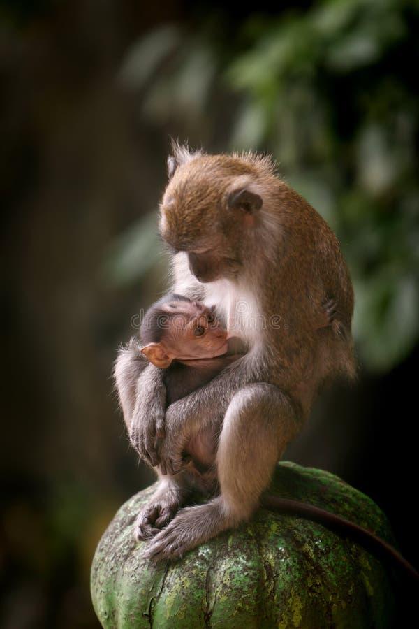 Scimmie di Macaque immagini stock libere da diritti