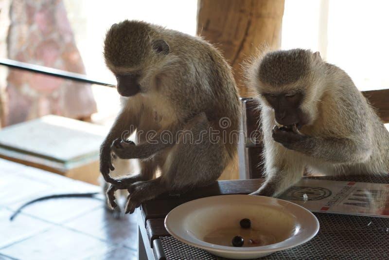 Scimmie di Vervet che rubano le olive dal piatto immagini stock libere da diritti