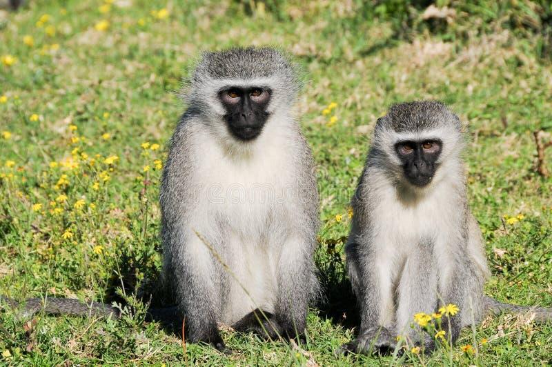 Scimmie di Vervet grigio Cheeky a Port Elizabeth immagine stock libera da diritti