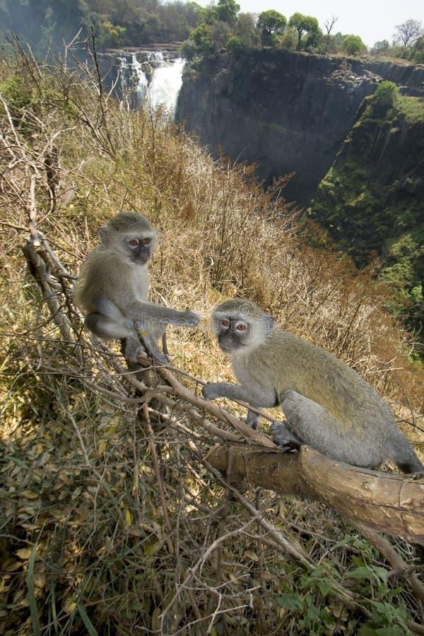 Scimmie di Vervet, Victoria Falls, Zimbabwe fotografia stock