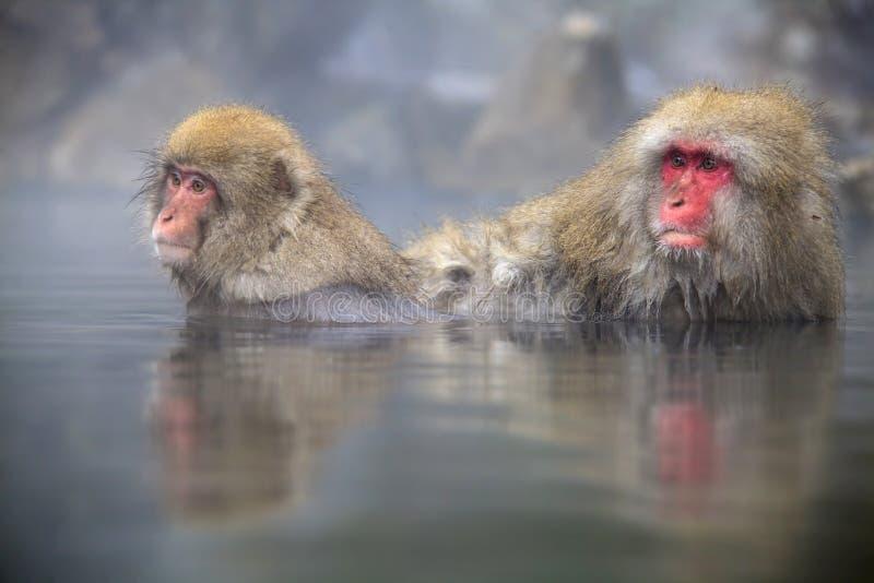Scimmie giapponesi della neve immagine stock